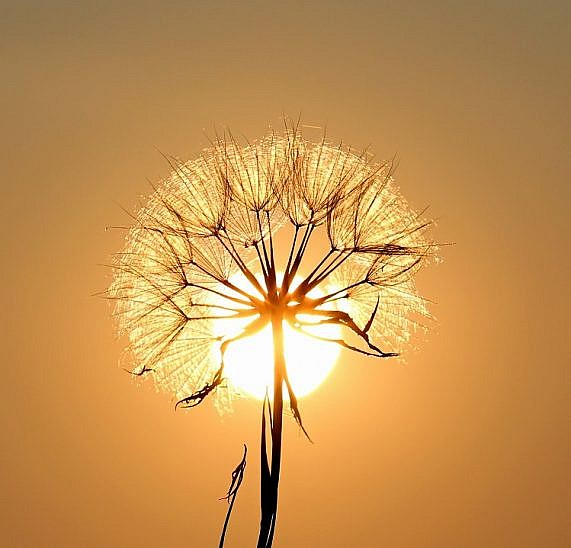 bloom-blossom-dandelion-192544 - 750x750